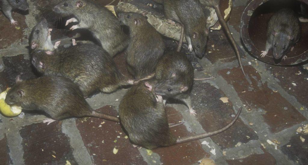 уничтожение крыс в Геленджике